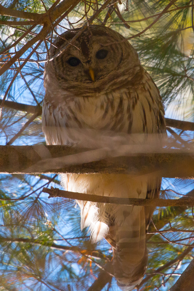 Barred Owl at Roberts Field in Chelmsford MA