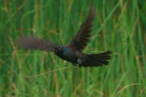 Common Grackle attention
